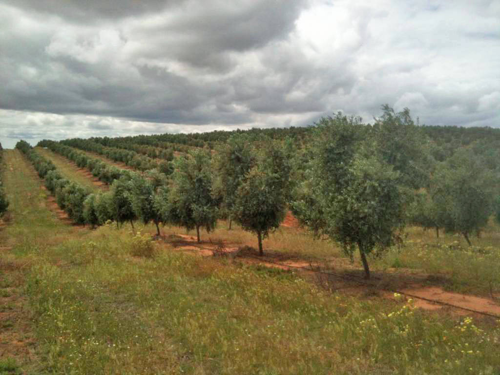 irrigation-olive-trees